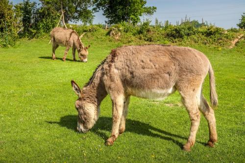 Les ânes du cheptel de la Cerlangue