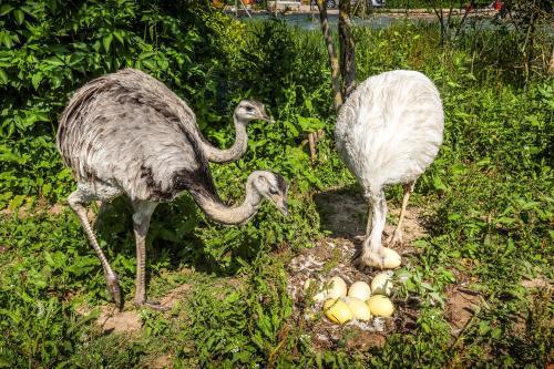 Des nandous, ces oiseaux d'Amérique du sud